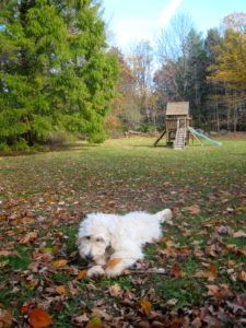 English Teddy Bear Goldendoodles love the cooler weather, great for a romp in the colorful fall leaves.