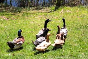 It's a ducks life