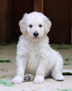 6 week old Goldendoodle puppy