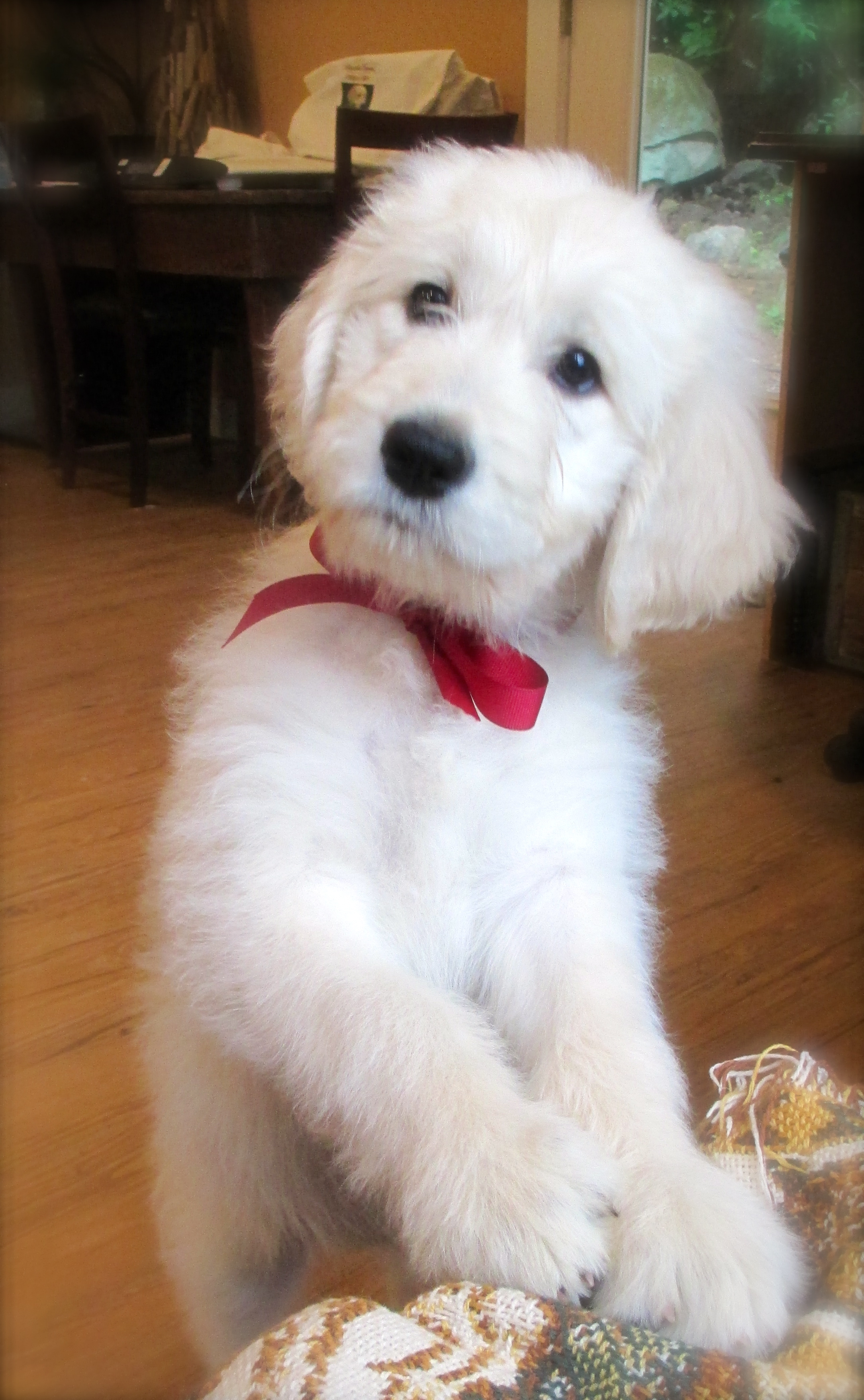 English Teddy Bear Goldendoodles