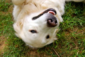 Angie loves to run in the garden, and comes when you call her, rolling at you feet for a belly rub