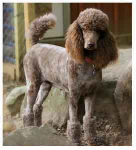 AKC Registered Brown Standard Poodle