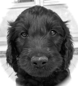 Black Goldendoodle puppy