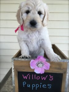 Willow and Tsar puppy
